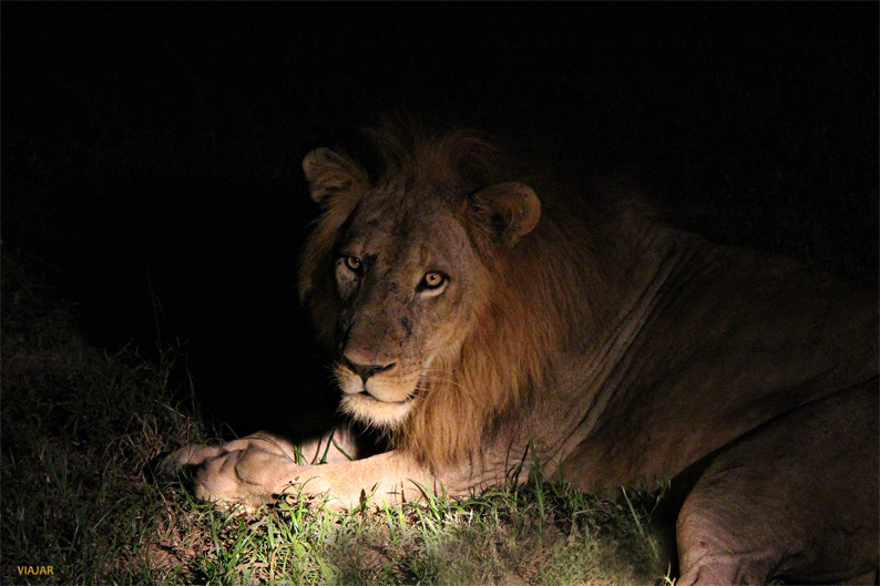 Leon. South Luangwa National Park. Zambia