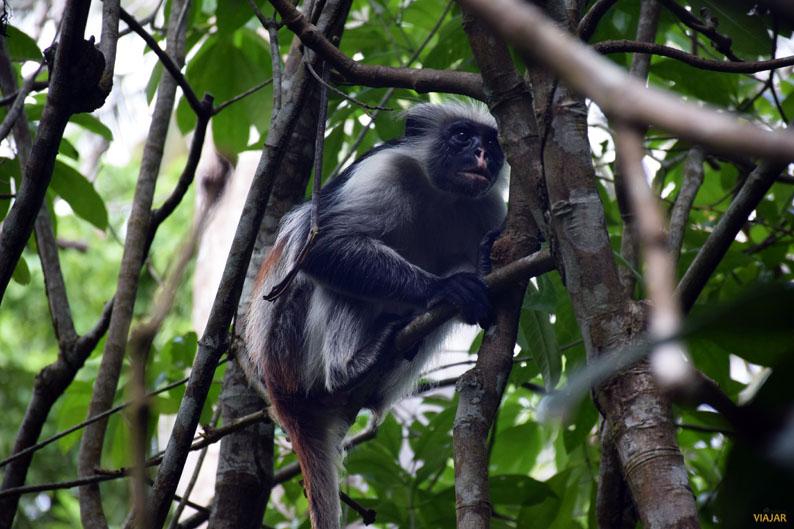 Colobo rojo en el bosque de Jozani. Zanzibar