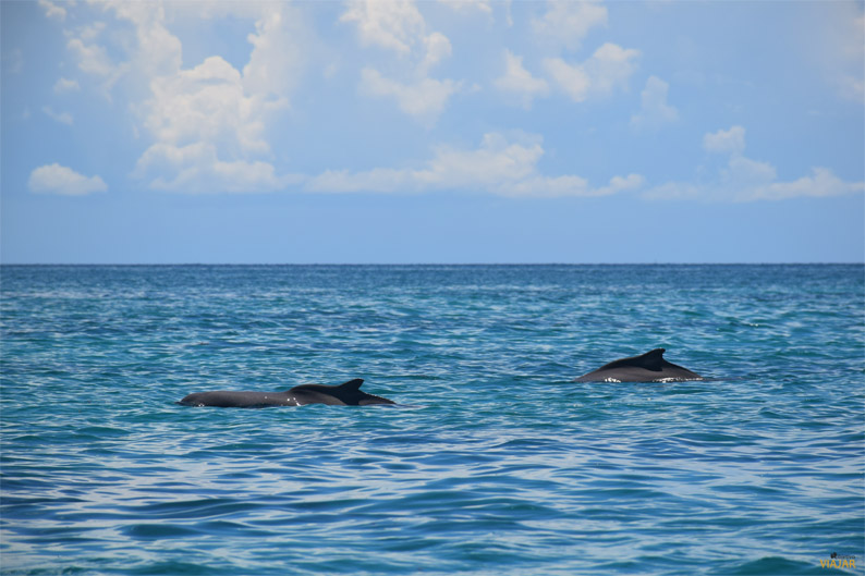 Delfines. Safari Blue