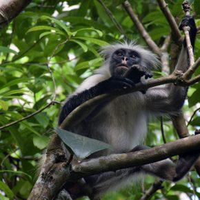 El bosque de Jozani, refugio de los monos colobos rojos de Zanzíbar