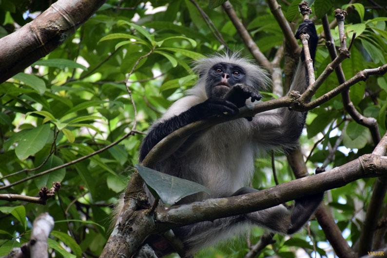 Mono colobo rojo. Bosque de Jozani. Zanzibar