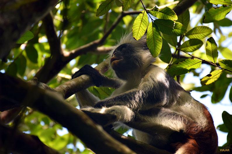 Mono colobo rojo. Bosque de Jozani