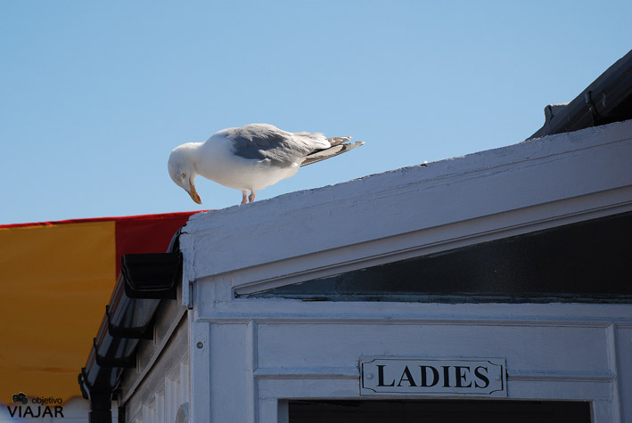 Lady gaviota. Brighton