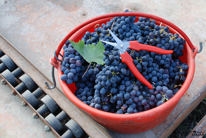 Una tarde de vendimia en los viñedos de Altavita. Cesena. Italia