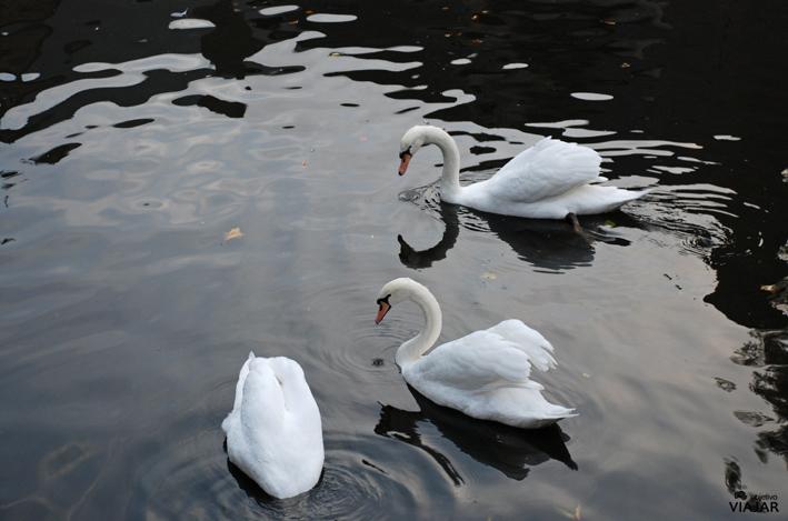 Cisnes en el Minnewater. Brujas