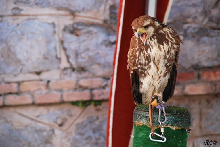 Exhibición de aves rapaces. Bodas de Isabel. Teruel