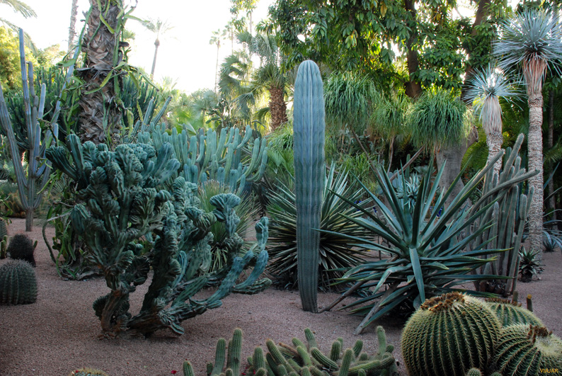 Cactus en el Jardín Majorelle. Marrakech