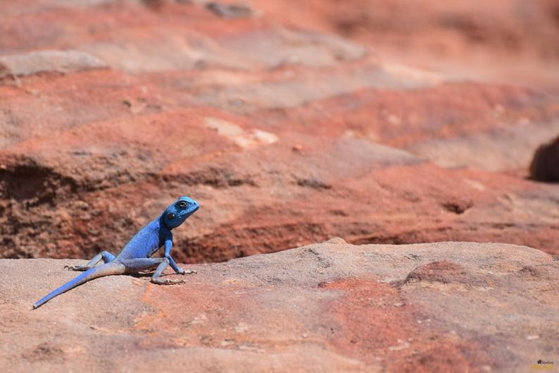 Lagarto azul endémico de Petra. Jordania