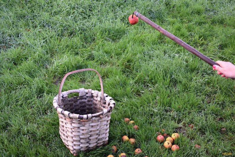 El zizki se utiliza para recoger las manzanas una a una. Manzanal de Sagardoetxea. Territorio de la Sidra