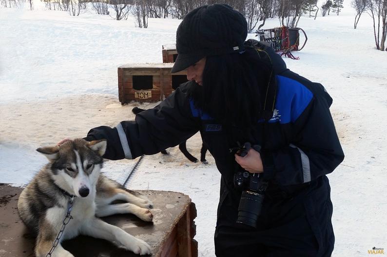 Alaskan husky. Laponia noruega