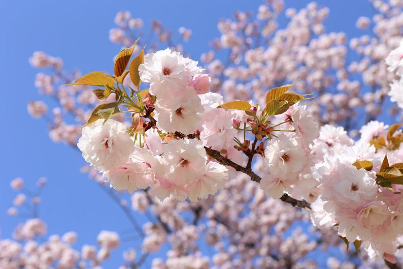 Sakura ©Yasufumi-Nishi©-JNTO