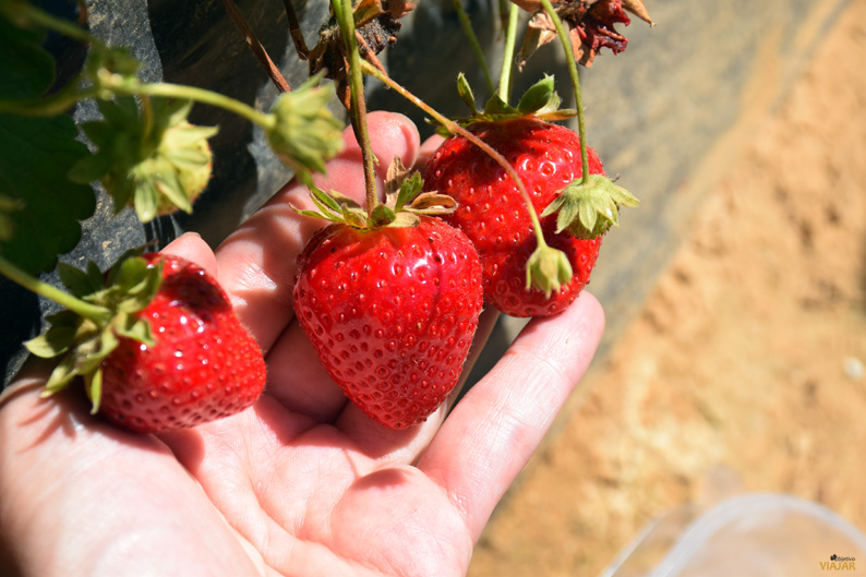 Recolecctando fresas. Isla Cristina