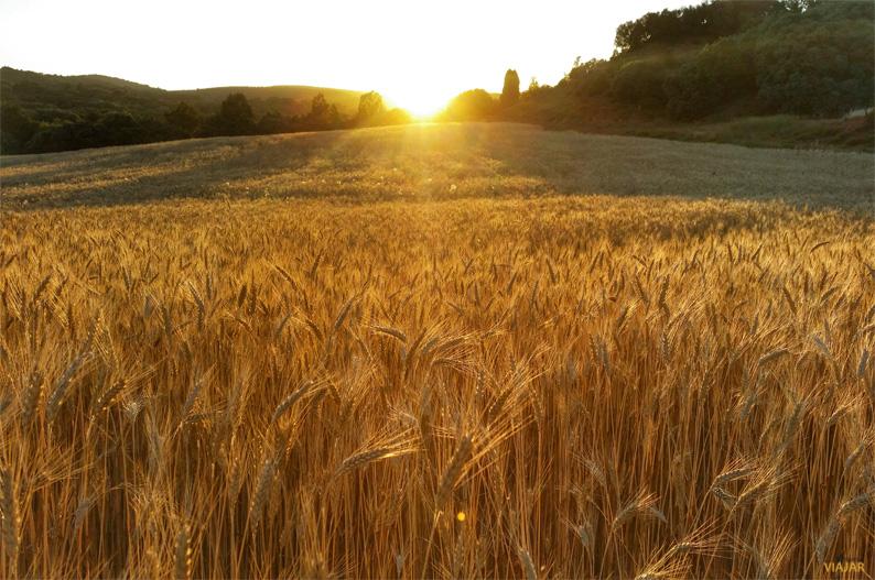 Atardece en los campos de cereales de La Puebla de Valverde
