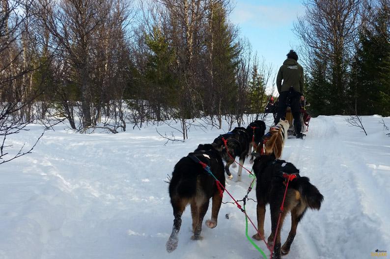 Adentrándonos en el bosque. Trineo de perros. Laponia noruega