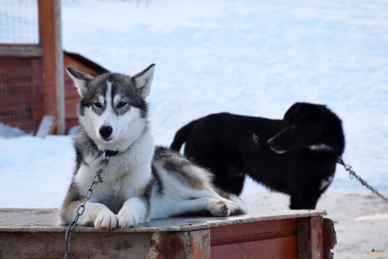 Alaskan husky. Trineo de perros. Laponia noruega