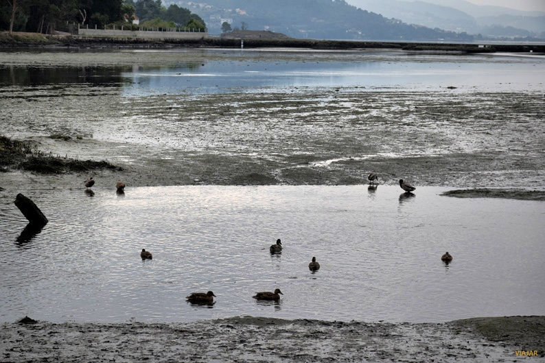 Aves en las marismas de Ulló. Terras de Pontevedra