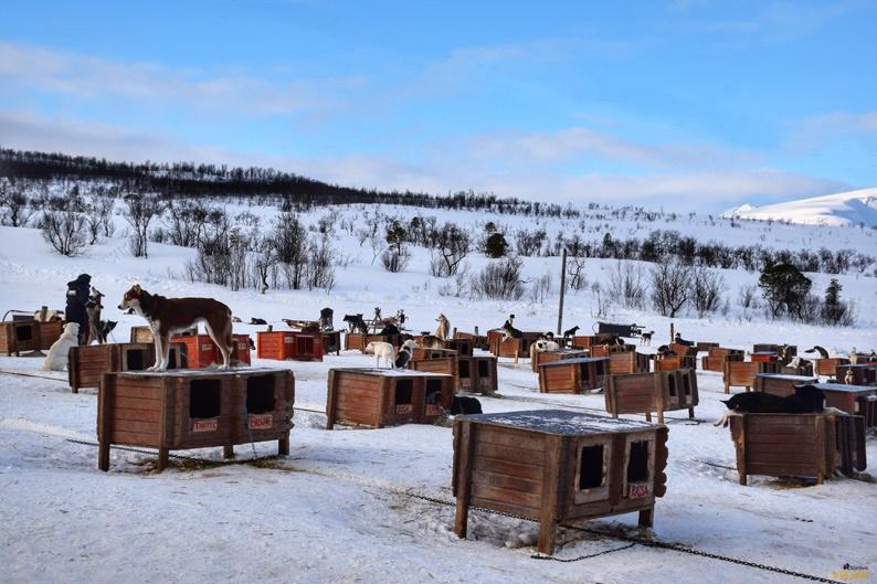Perros nórdicos en Tromsø Villmarksenter. Laponia noruega