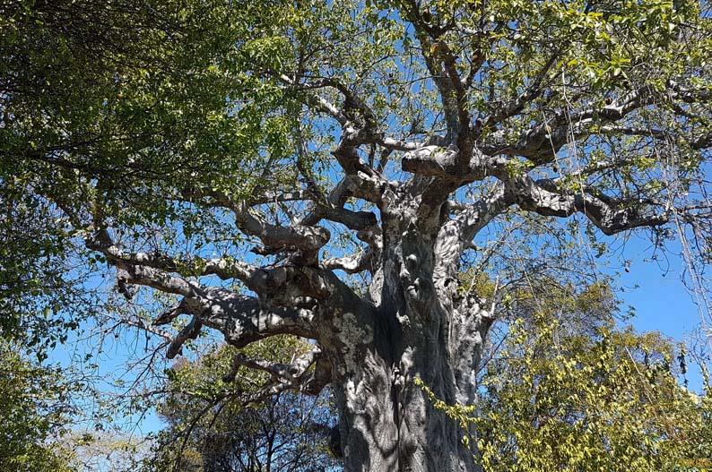Baobab. Isla de Kwale. Safari Blue