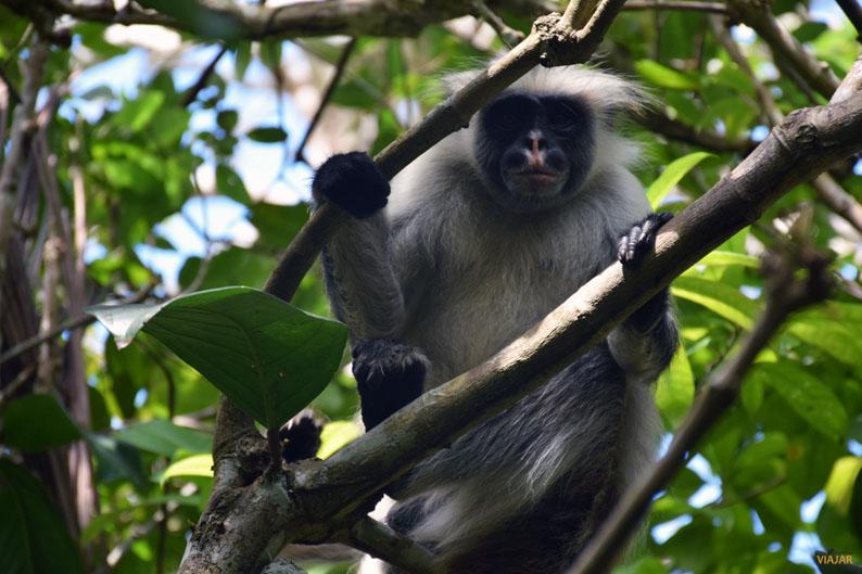 Colobo rojo. Bosque de Jozani, Zanzibar