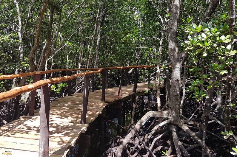 Manglares en el bosque de Jozani. Zanzibar