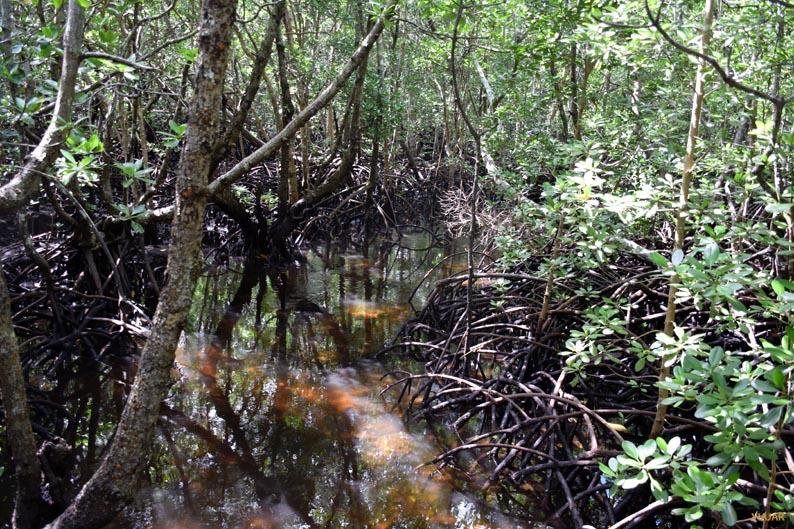 Paseando entre manglares. Bosque de Jozani. Zanzibar