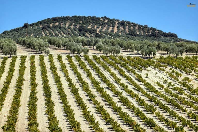 Mar de viñas y olivos. Lagar La Primilla. Que ver en Montilla