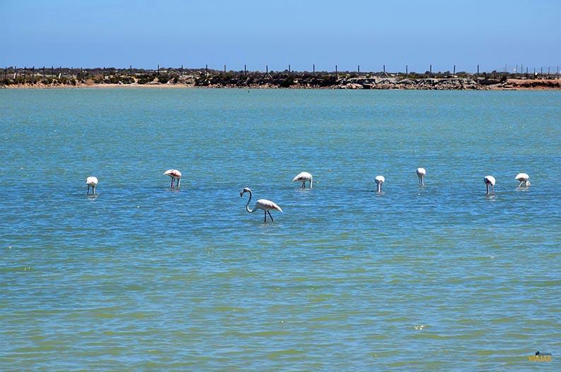 Flamencos. Que ver en el Mar Menor