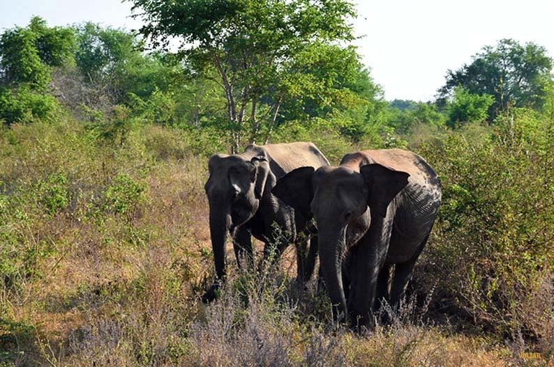 Elefantes en el Parque Nacional de Udawalawe