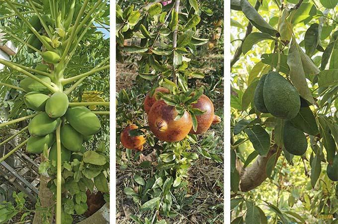 Frutas tropicales de Salobreña